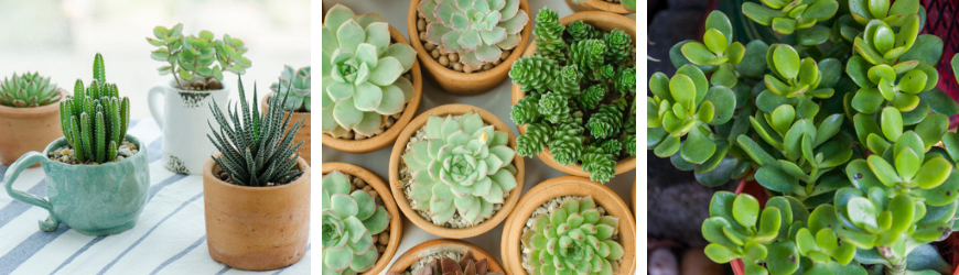 Vetplanten en cactussen kopen bij Tuincentrum De Wildernis